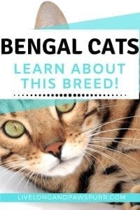All About Bengal Cats #bengalcat #catbreed #allaboutcats