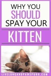 why you should spay your kitten #kitten #kittenadvice #kittentips #spaying #neutering