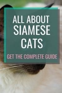 All About Siamese Cats #catbreeds #allaboutcats #siamesecats #siamese