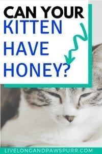 Can Cats Have Honey? #cancatseat #catfood #cateat #cathealth