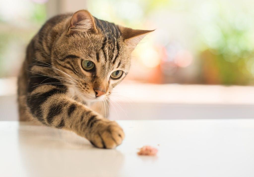 Can Cats Eat Manuka Honey?