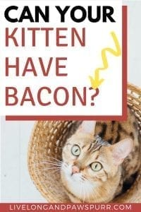Can Cats Have Bacon? #bacon #cancatseat #catquestions
